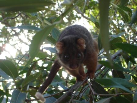 The ringtail we tried to relocate from front tree